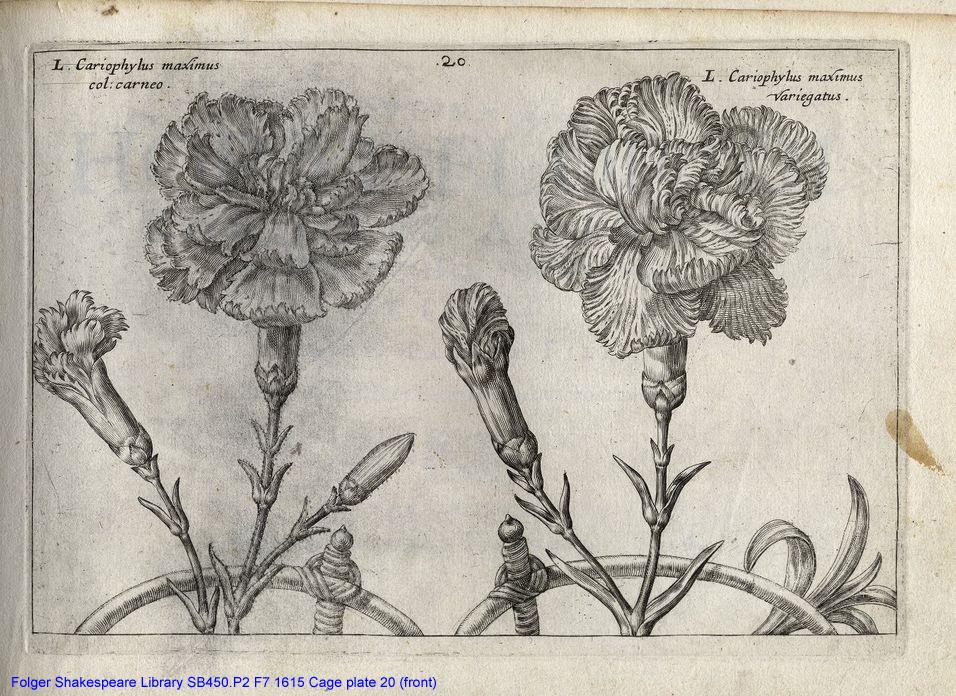 Engraving of two carnations