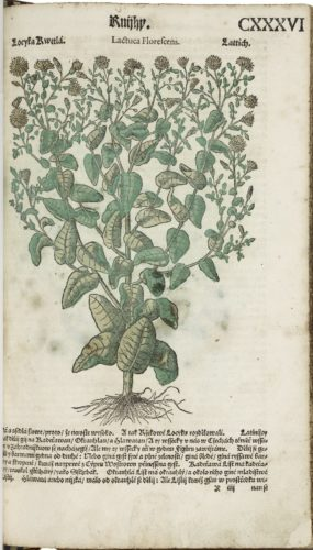 hand-colored woodcut of a plant with small green leaves and white flowers
